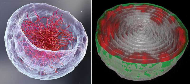 A novel imaging method reveals a surprising arrangement of DNA in the cell's nucleus