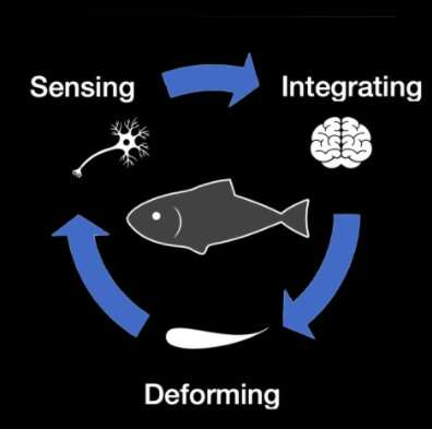 A proprioceptive mechanism to enable fish-like swimming in robots