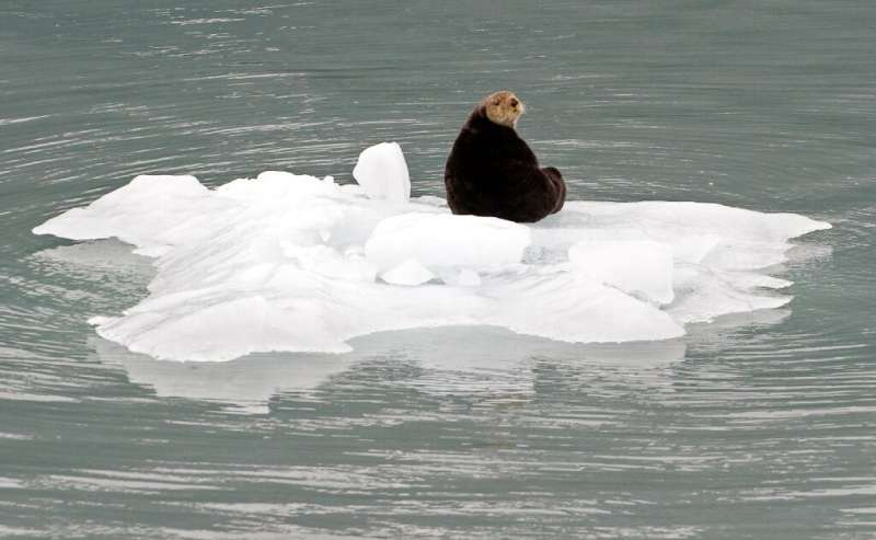 A sea otter sits on a lump of ice that fell from a glacier in Prince William Sound near Whittier, Alaska