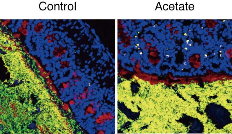 A simple compound to control complex gut microbes