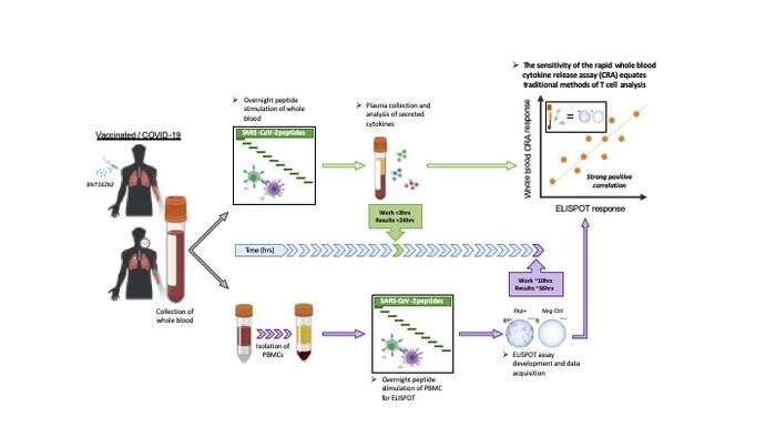A simple T-cell test to show the full picture of body's immune response to COVID-19