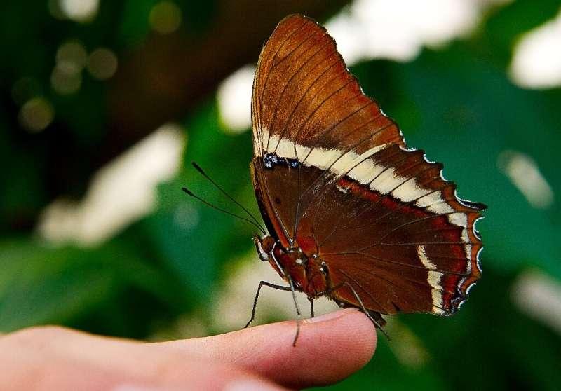 Una mariposa Siproeta epaphus se ve en el Jardín Botánico José Celestino Mutis en Bogotá.