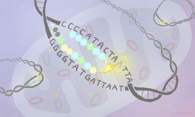 A small, multi-functional molecule can tag mutant genetic sequences inside mitochondria for removal