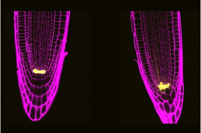 A specific protein complex from plant stem cells regulates their division and response to stress