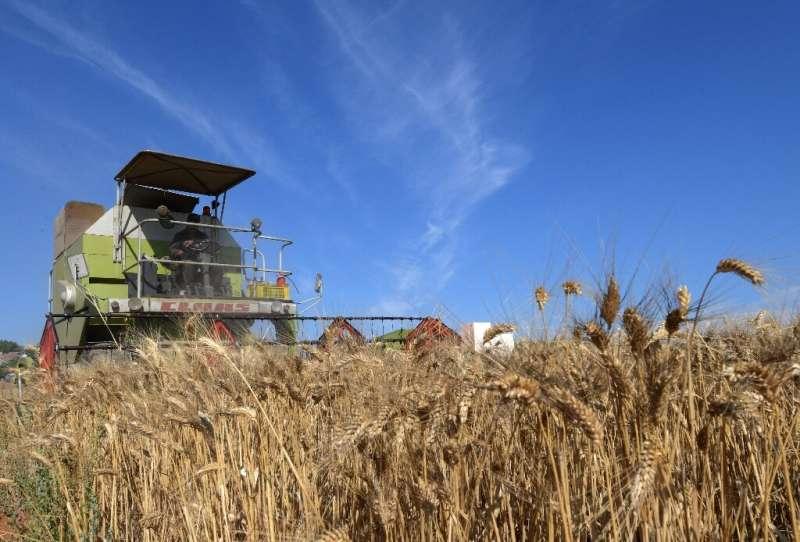 Un agricultor tunecino cosecha trigo en la región de Jedaida, a unos 30 kilómetros (18 millas) al noroeste de la capital, Túnez.