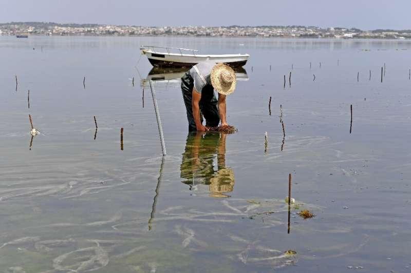 A worker harvests red seaweed (algae) in the Menzel Jemil lagoon in Tunisia's northern Bizerte region