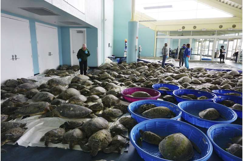 About 4,300 cold-stunned turtles survived the Texas freeze