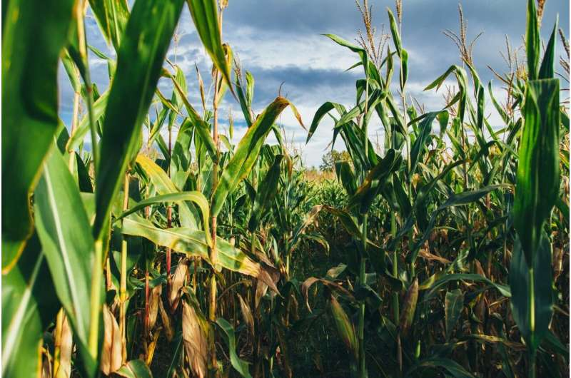 Adaptation, not irrigation recommended for Midwest corn farmers
