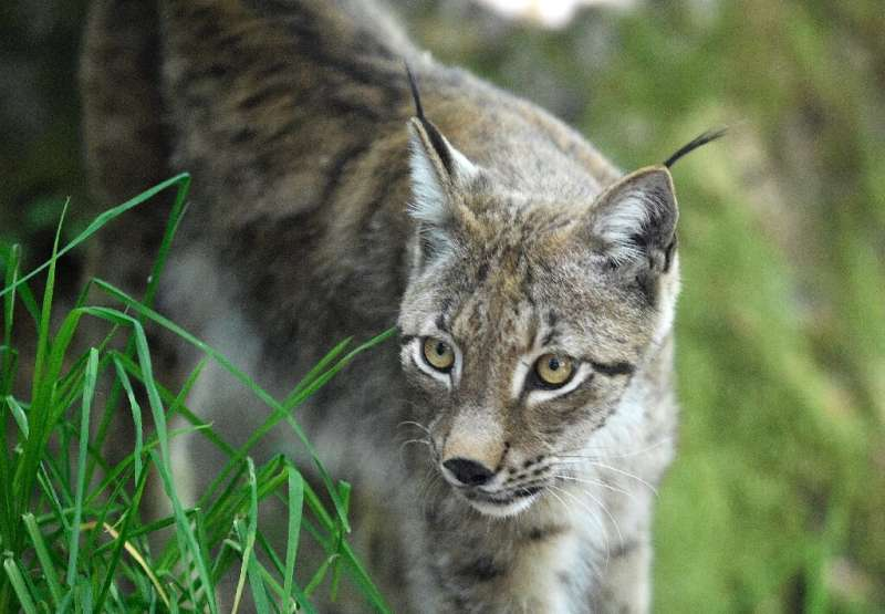 Finger pointed at poachers after rare lynx killed in France