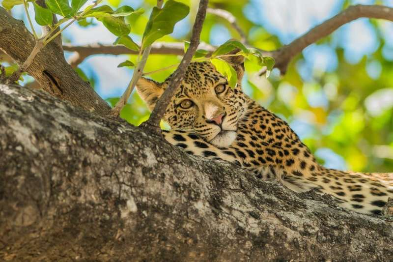 African leopard sighting raises hopes for their conservation in southern Cameroon