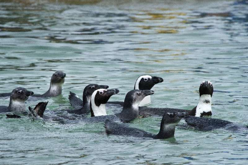 African penguins are listed as endangered