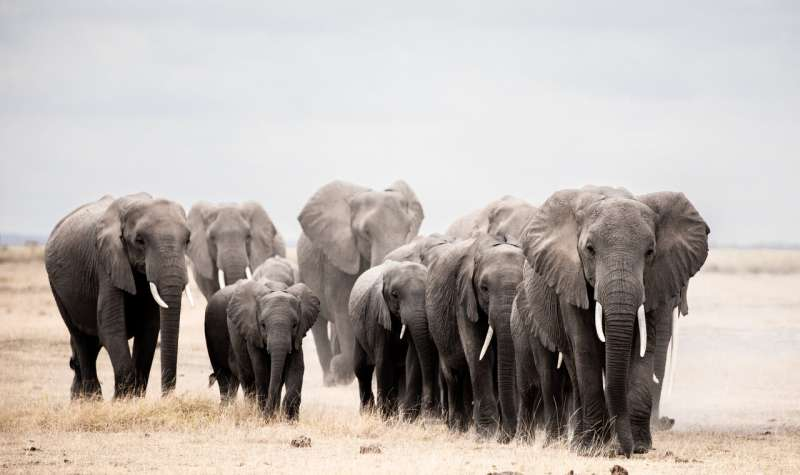 African elephants only occupy a fraction of their potential range