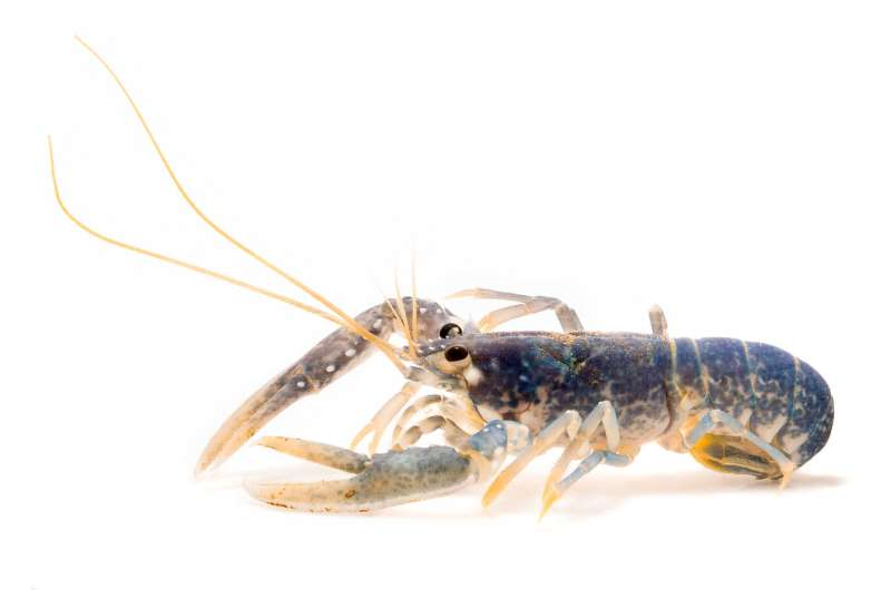 Ageing the unageable: UEA researchers develop new way to age lobsters