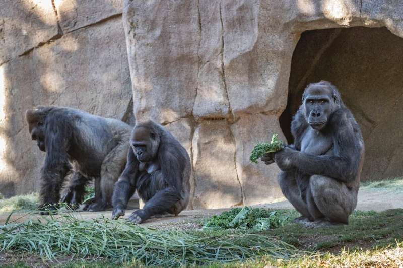 A gorilla troop at the San Diego Zoo Safari Park that tested positive for Covid-19