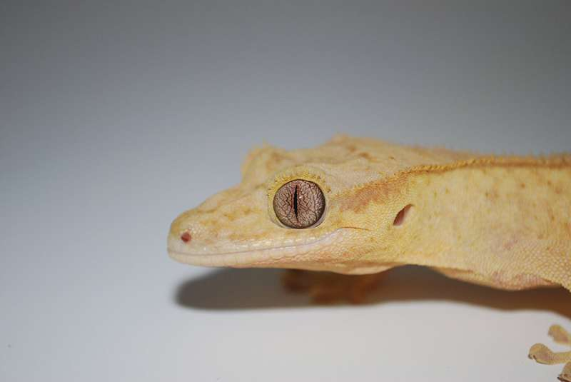 Aided by stem cells, a lizard regenerates a perfect tail for the first time in 250 million years