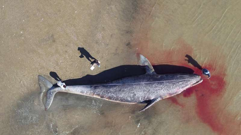 A large number of gray whales are starving and dying in the eastern North Pacific