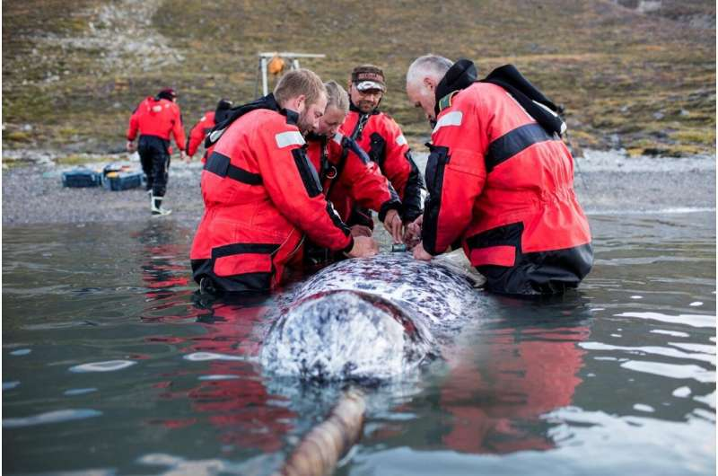 Algorithm reveals the mysterious foraging habits of narwhals