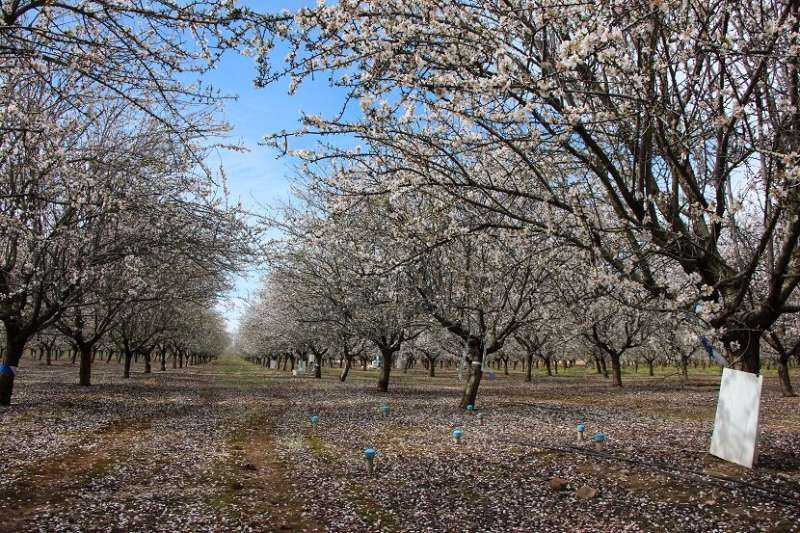 Almond production remains stable in the long term, despite deficit irrigation