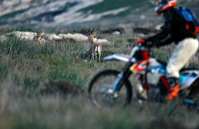 A man rides a motorcycle past mountain gazelles, which face threats from such traffic as well as predators and hunting, despite