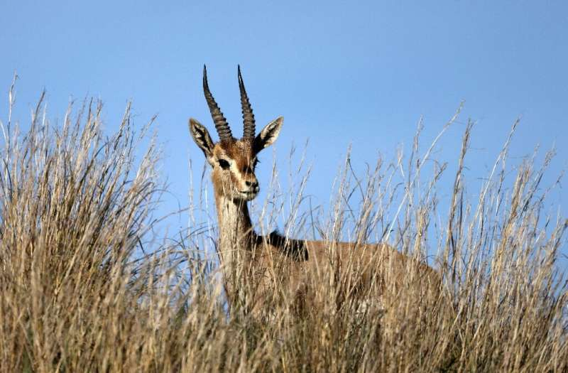 A mountain gazelle is pictured near a forest in Israel, where scientists say the animals are endangered as development is shrink