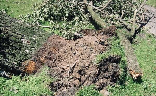 An act of God, or just bad management? Why trees fall and how to prevent it