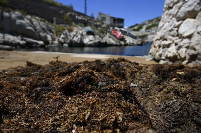 An algae originally from Japan is piling up on the pristine Calanque beaches near Marseille in southern France.