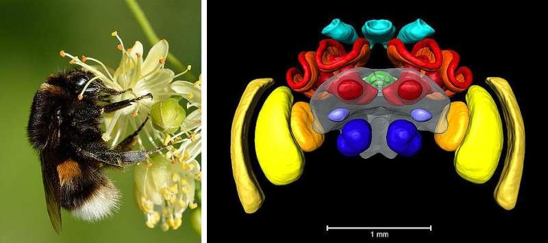 An atlas of the bumblebee brain