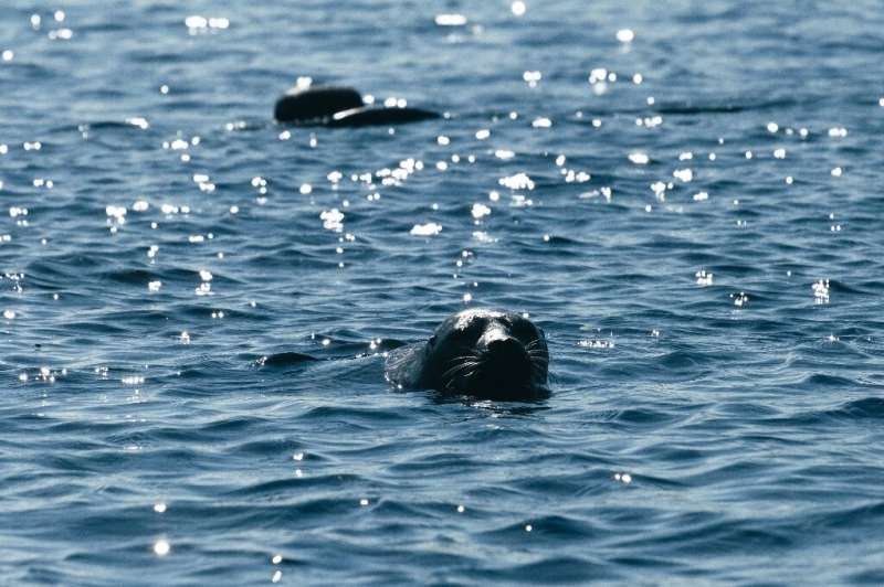 An endangered Saimaa ringed seal called Eeva pops her head out of the water