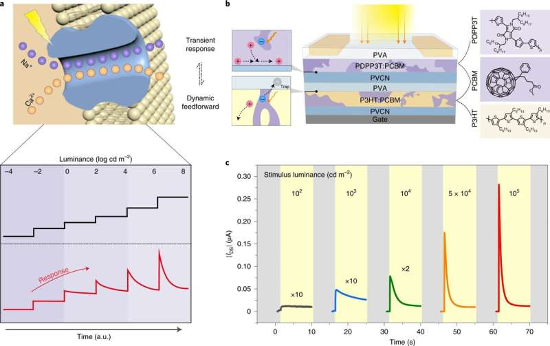 An organic active adaptation transistor with light intensity-dependent photoadaptation