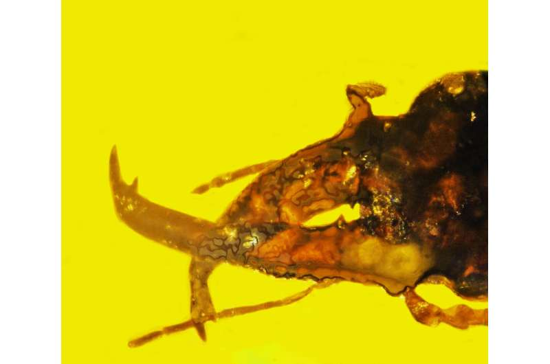 Ancient, newly identified 'mammoth weevil' used huge 'trunk' to fight for mates