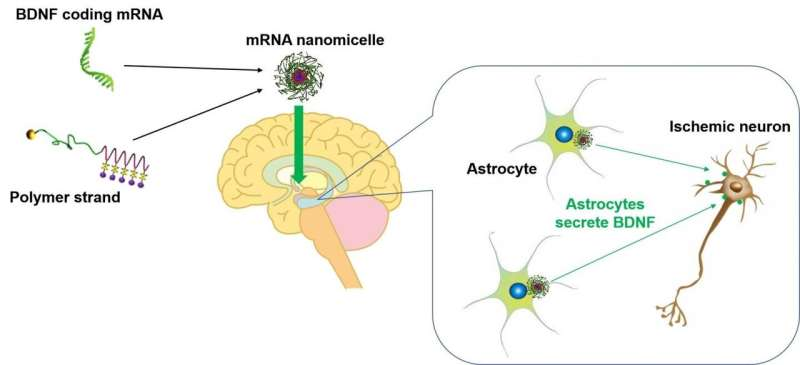 A new agent for the brain diseases: mRNA