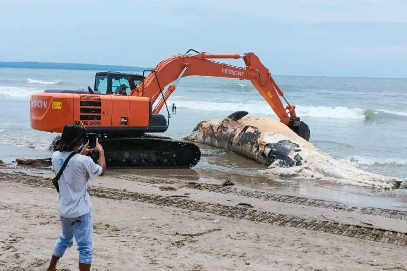 An excavator hauls the whale carcass to shore to be buried beneath the beach in Bali