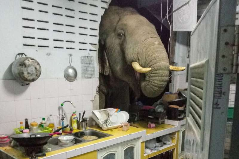 Animals and humans are increasingly coming into close contact, as when an elephant burst into a house in Thailand