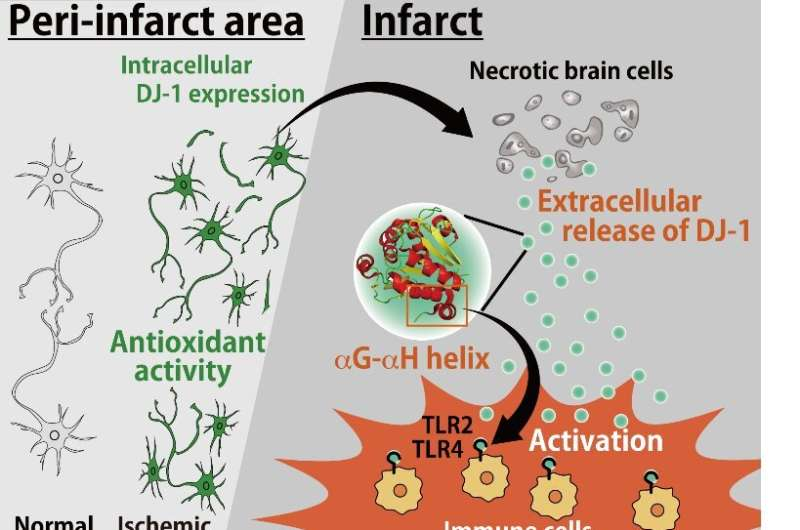 Antioxidant protein inside the cell worsens inflammation outside