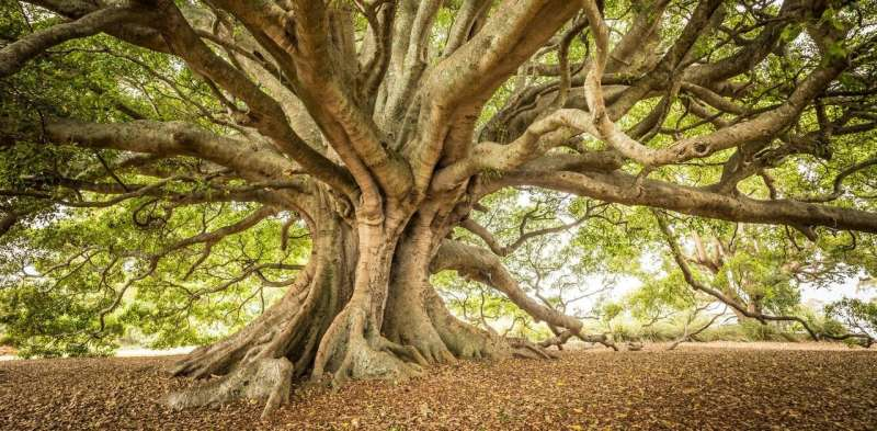 An unexpected consequence of climate change: heatwaves kill plant pests and save our favourite giant trees