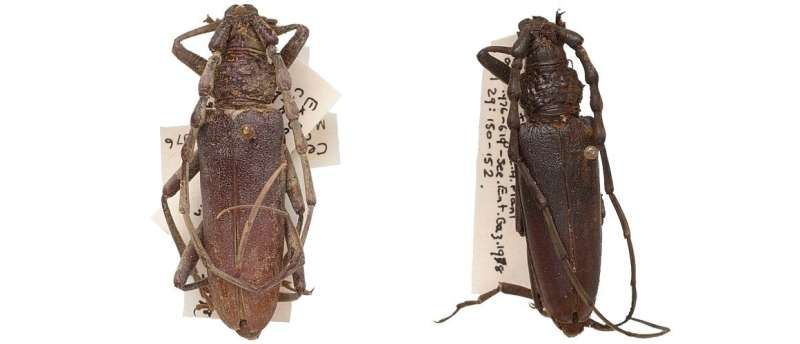 A pair of perfectly-intact 'mystery beetles' in the collection discovered to be almost 4,000 years old