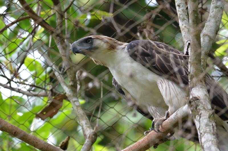 """A Philippine eagle named """"Pag-asa"""" (Hope), the first to be hatched and bred in captivity, died from infections just da"""