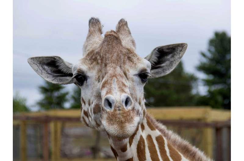 April, the giraffe that became an online star, dies