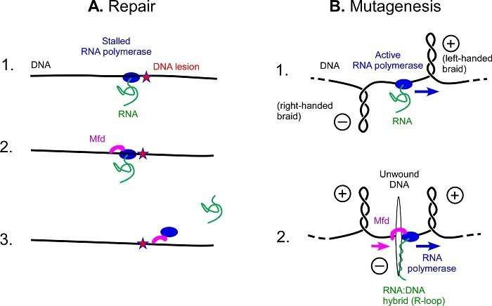 A protein with a dual role: both repair and mutation