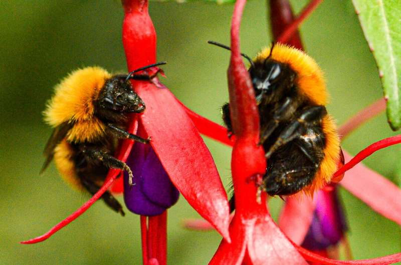A quarter of known bee species haven't appeared in public records since the 1990s