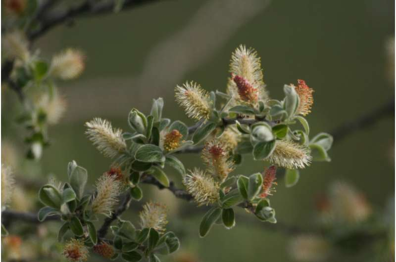 Arctic shrubs add new piece to ecological puzzle