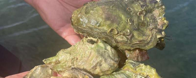 Are domesticated oysters less prepared for climate change?