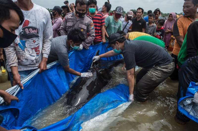 A rescue effort was launched after nearly 50 pilot whales were stranded on a beach in Indonesia; but the majority did not surviv