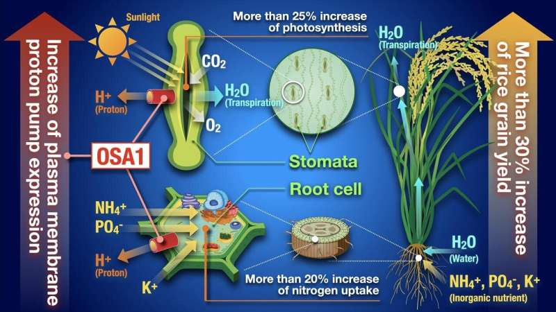 A revolutionary approach to increasing crop yield in rice