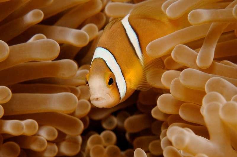 Artificial light harming clownfish