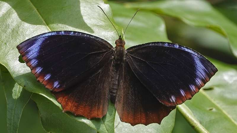 Asian butterfly populations show different mimicry patterns thanks to genetic 'switch'