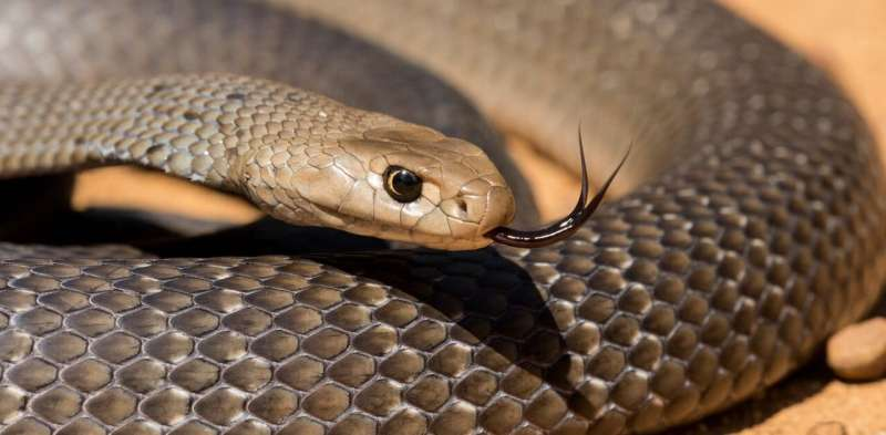 A snake catcher explains why our fear of brown snakes is misplaced