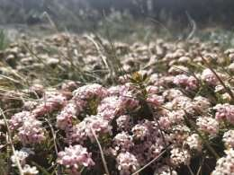 Australian alpine plants face bleak future from rapid climate change