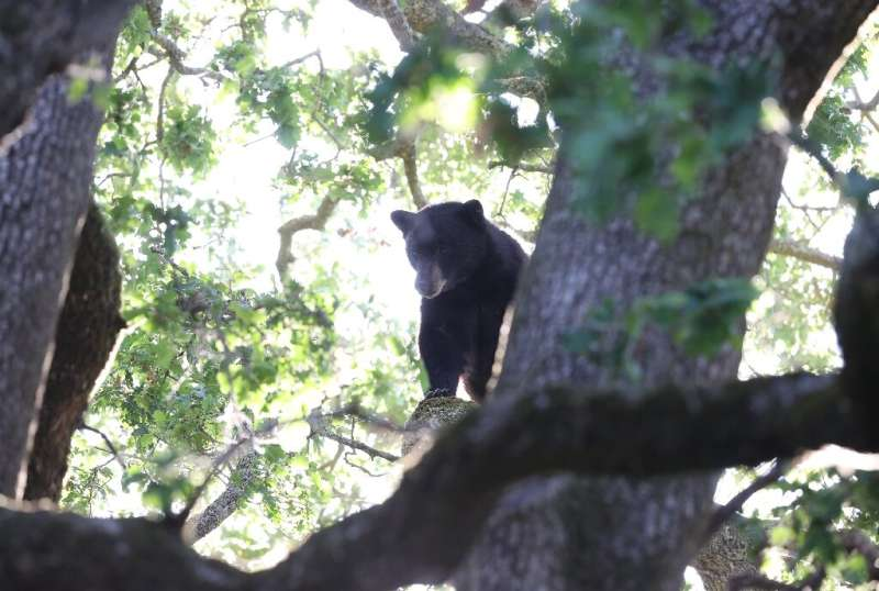 Authorities in parts of the US frequently have to deal with bears