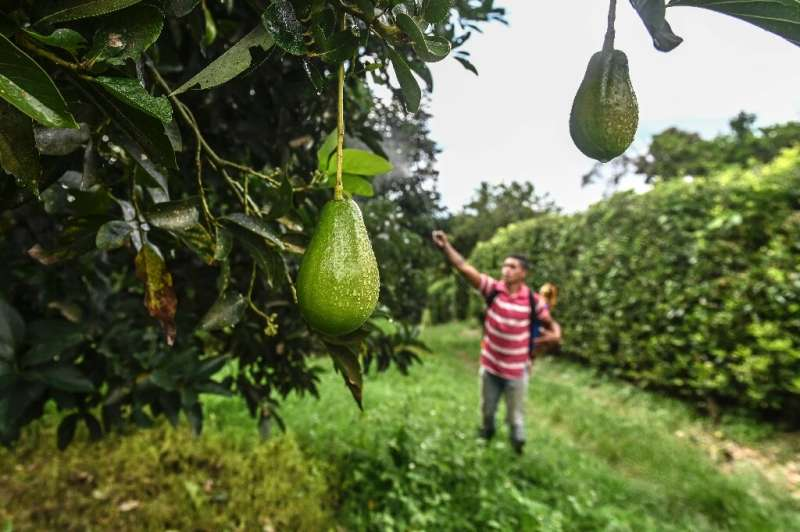 Avocado farmers say their crops require intensive spraying as they are highly vulnerable to pests